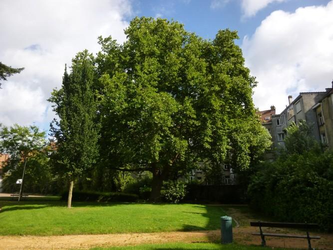 Platane à feuille d'érable – Anderlecht, Avenue de Scheut –  11 Juillet 2013