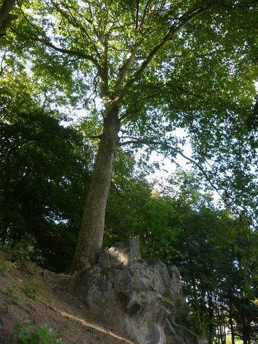 Platane à feuille d'érable – Woluwé-Saint-Pierre, Parc de Woluwe –  16 Septembre 2014