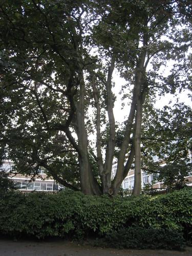 Acer platanoides f. rubrum<br>Ixelles Parc Solvay Rue des Champs Elysées, 43