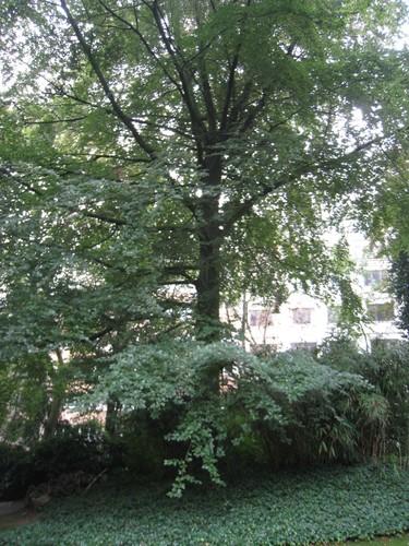 Rode beuk – Elsene, Solvaypark, Elyzeese Veldenstraat, 43 –  24 September 2014
