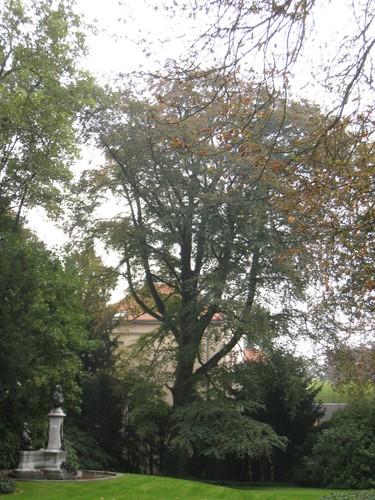 Hêtre pourpre – Ixelles, Parc Solvay, Rue des Champs Elysées, 43 –  24 Septembre 2014