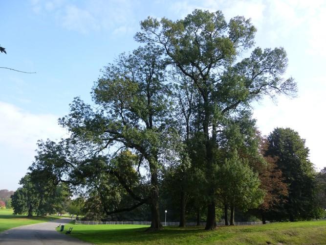 Fraxinus excelsior f.aureopunctata – Bruxelles, Parc public de Laeken –  09 Octobre 2014