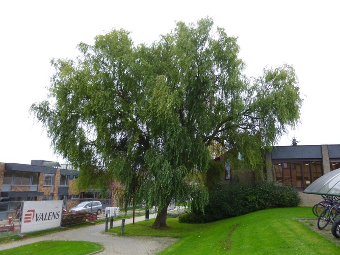 Salix babylonica 'Tortuosa' – Jette, Site de l'Hôpital Brugmann , Avenue Ernest Masoin, 4 –  21 Octobre 2014