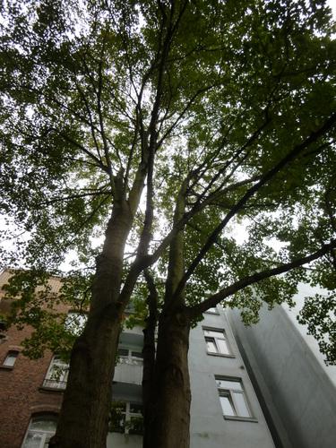 Erable sycomore – Saint-Gilles, Rue Blanche, 39 –  23 Octobre 2014
