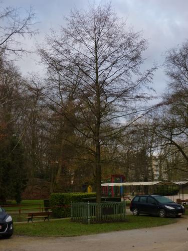 Aulne glutineux – Molenbeek-Saint-Jean, Parc Marie José –  05 Février 2015
