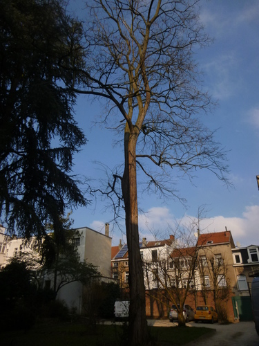 Gewone acacia – Sint-Joost-Ten-Node, Overvloedstraat, 31 –  06 February 2015