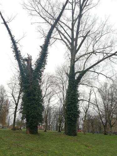 Populus sp<br>Anderlecht Parc Scheutveld Avenue Commandant Vander Meeren