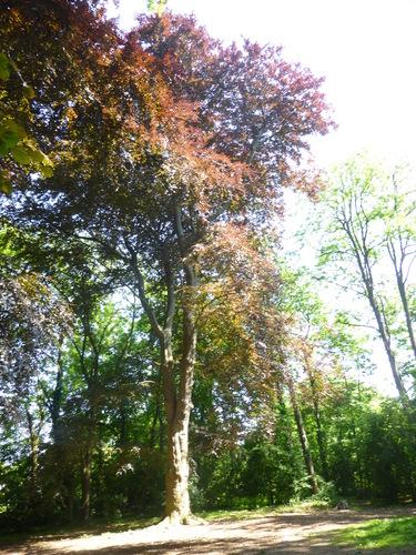 Hêtre pourpre – Ixelles, Bois des Commères, Avenue d'Italie –  05 Juin 2015