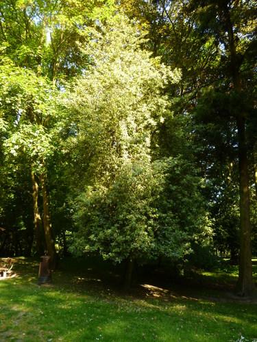 Ilex aquifolium 'Albomarginata' – Uccle, Parc de la Sauvagère –  05 Juin 2015