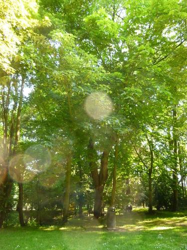 Merisier – Uccle, Parc de la Sauvagère –  05 Juin 2015