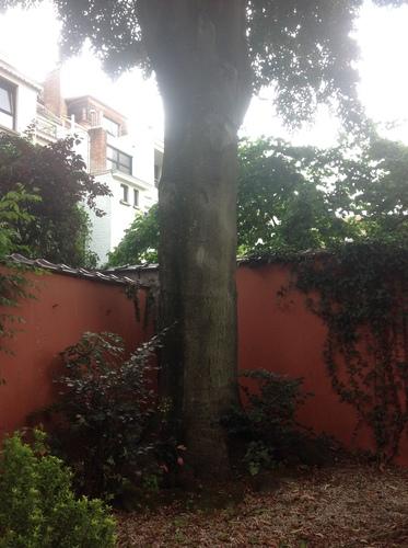 Hêtre pourpre – Ixelles, Rue Américaine, 64 –  19 Juin 2015