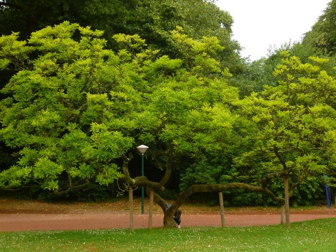 Magnolier de Soulange – Watermael-Boitsfort, Parc du château Bischoffsheim, Kattenberg –  13 Juillet 2015