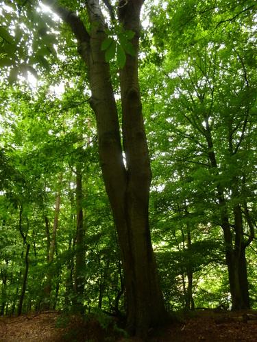 Amerikaanse eik – Watermaal-Bosvoorde, Park van het kasteel Bischoffsheim, Kattenberg –  13 Juli 2015