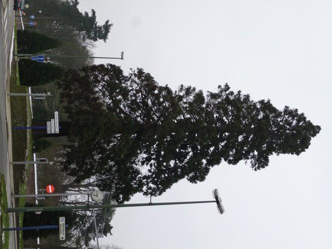 Sequoia géant<br>Bruxelles Site de l'avenue de Madrid Avenue de Madrid