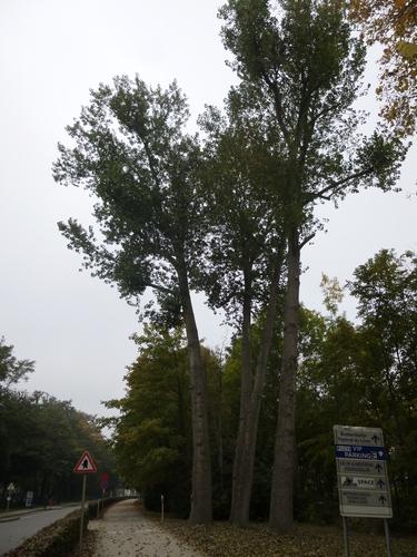 Peuplier du Canada – Bruxelles, Avenue de Madrid –  14 Octobre 2015