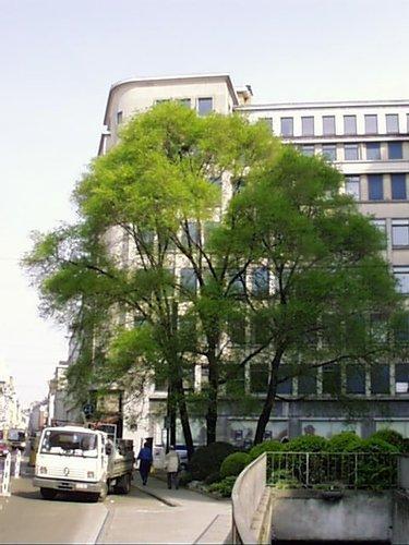 Orme d'Amérique – Bruxelles, Rue des Augustins, 4 –  04 Avril 2002