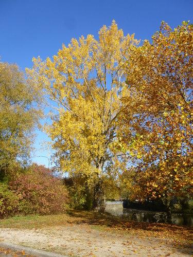 Peuplier du Canada – Anderlecht, Parc de la Pede, Rue des Lapins –  27 Octobre 2015
