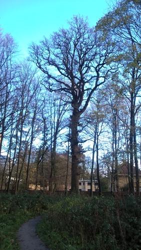 Chêne pédonculé – Uccle, Hippodrome de Boitsfort –  25 Novembre 2015