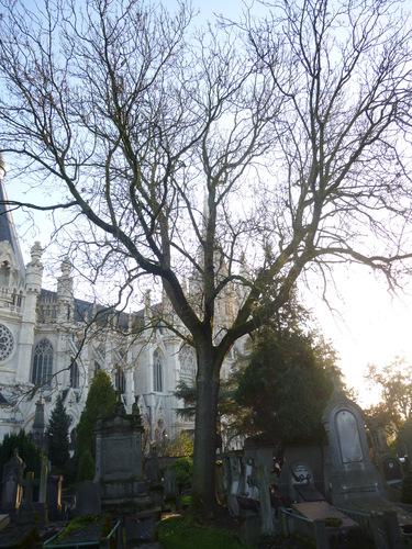 Gewone es – Brussel, Begraafplaats van Laken –  09 December 2015