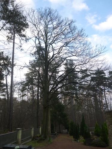 Quercus sp<br>Watermael-Boitsfort Cimetière de Watermael-Boitsfort Rue du Buis, 57