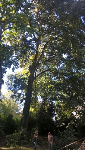 Hêtre pourpre – Uccle, Avenue Winston Churchill, 159 –  29 Septembre 2015