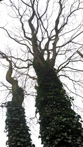 Hemelboom – Elsene, Elzas-Lotharingenstraat, 2 –  06 April 2016