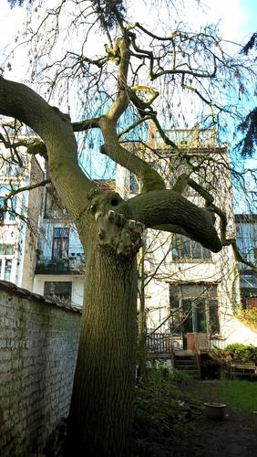 Frêne pleureur – Forest, Rue Darwin, 12 –  07 Avril 2016