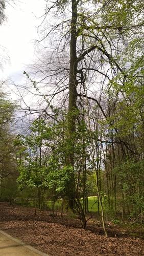 Hêtre d'Europe – Forest, Parc Duden –  15 Avril 2016