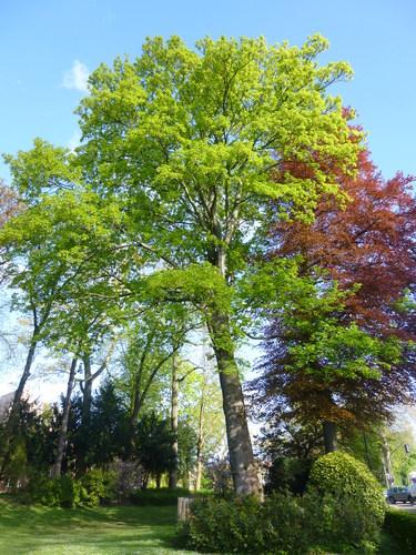 Erable sycomore – Bruxelles, Cimetière de Laeken –  03 Mai 2016