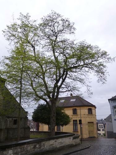 Robinier faux-acacia – Bruxelles, Rue Sainte-Elisabeth –  10 Mai 2016