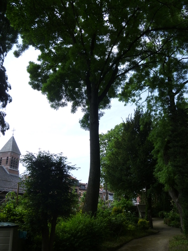 Frêne commun – Jette, Place de la Grotte et jardin public, Rue Léopold I –  26 Mai 2016