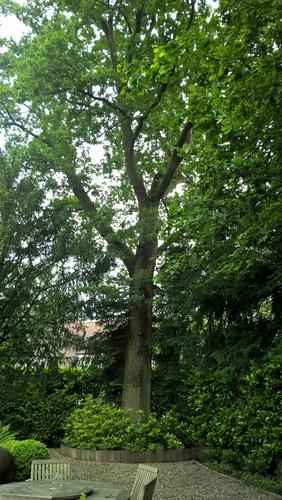 Chêne pédonculé – Uccle, Avenue Blücher, 158 –  08 Juin 2016