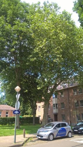 Gewone plataan – Brussel, Stiénonlaan –  10 Juni 2016