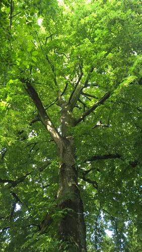 Zilverlinde – Vorst, Jacques Brel park –  15 Juni 2016