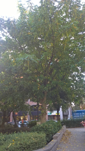 Ptérocaryer à feuilles de frêne – Bruxelles, Rue du Trône, 36 –  14 Septembre 2016
