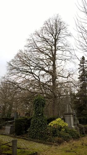 Boomhazelaar – Evere, Begraafplaats van Brussel –  06 February 2017