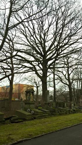 Chêne pédonculé – Evere, Cimetière de Bruxelles –  06 Février 2017