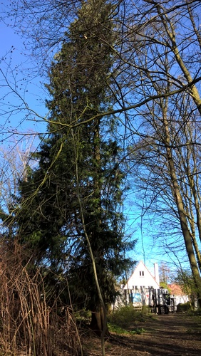 Thuja plicata – Oudergem, Tervuursesteenweg, 167 –  22 Maart 2017