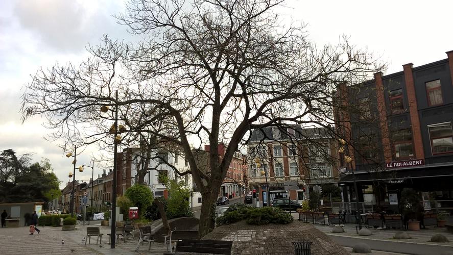 Catalpa commun – Watermael-Boitsfort, Place Eugène Keym –  13 Avril 2017