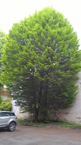 Carpinus betulus f. fastigiata – Brussel, Van Eyckstraat, 50 –  08 Mei 2017