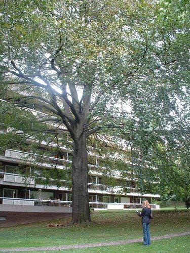 Hêtre pourpre – Bruxelles, Domaine du Mont Saint-Alban, Avenue Jean Sobieski, 17-15-13 –  02 Octobre 2006