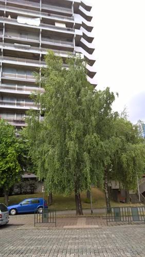 Bouleau verruqueux – Schaerbeek, Avenue de l'Héliport, 33 –  28 Juin 2017