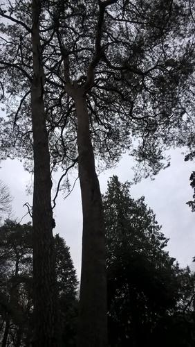 Pin sylvestre – Woluwé-Saint-Lambert, Moulin de Lindekemaele et abords, Avenue Jean-François Debecker, 48 –  15 Décembre 2020