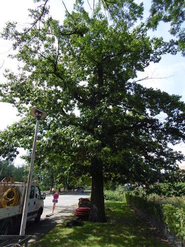 Chêne rouge d'Amérique – Anderlecht, Sentier de la Drève –  08 Août 2017