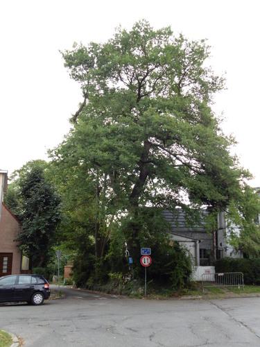 Zomereik – Watermaal-Bosvoorde, Karrenberg, 53 –  06 September 2017