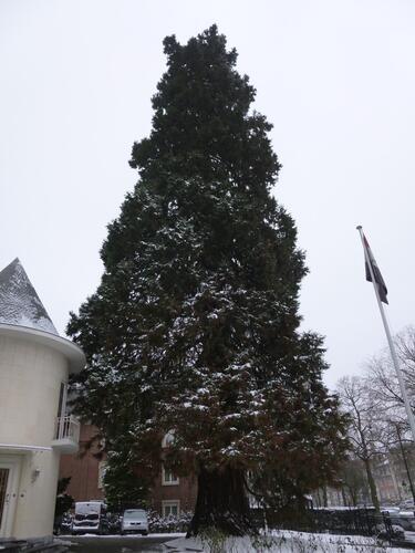 Sequoia géant – Bruxelles, Avenue Franklin Roosevelt, 115 –  18 Janvier 2013