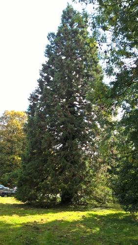 Mammoetboom – St.- Pieters - Woluwe, Park van Woluwe –  09 Juli 2013