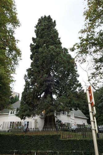 Sequoia géant – Bruxelles, Avenue Franklin Roosevelt, 115 –  22 Octobre 2019