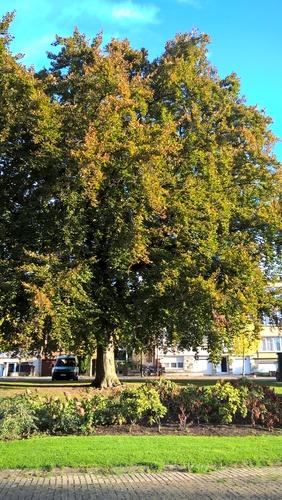 Hêtre pourpre – Bruxelles, Square Palfyn , Avenue du Général de Ceuninck –  12 Octobre 2017