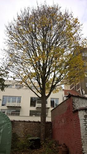 Erable sycomore – Forest, Avenue Victor Rousseau, 13 –  09 Novembre 2017